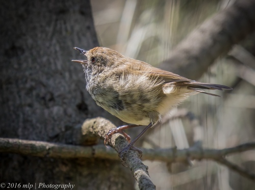 Brown Thornbill, Point Ormond, Elwood
