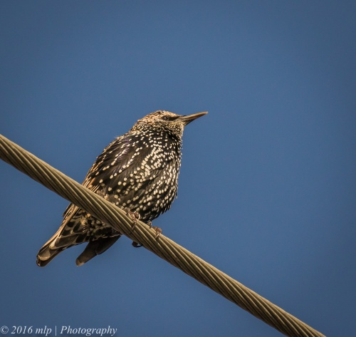 Common Starling, Elster Creek, Elwood