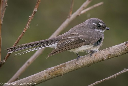 Grey Fantail, Point Ormond, Elwood, Victoria