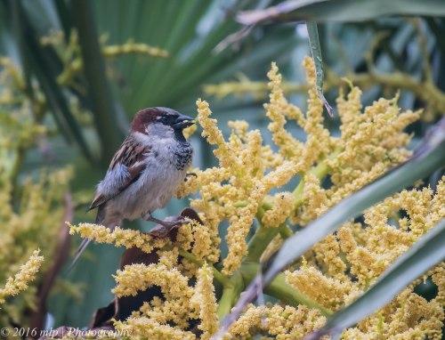 House Sparrow, Ormond Road, Elwood, Victoria, 1 Nov 2016