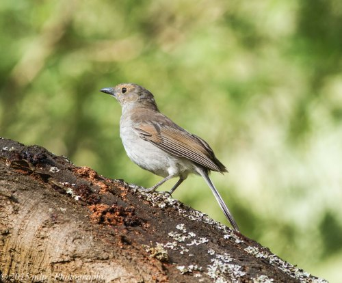 Immature Grey Shrike Thrush