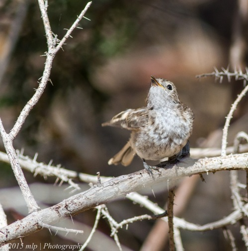 Juvenile Red Capped Robin