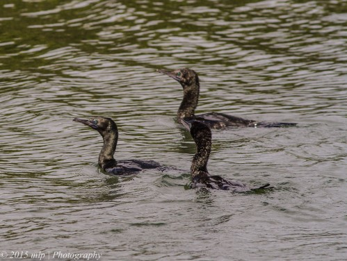 Little Black Cormorants,