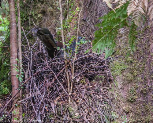 Lyrebird in Nest