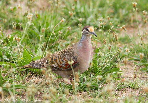Male Common Bronzewing