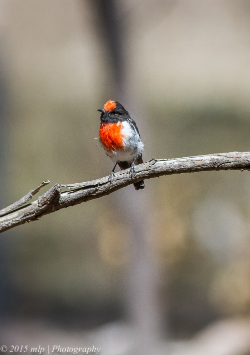 Male Red Capped Robin