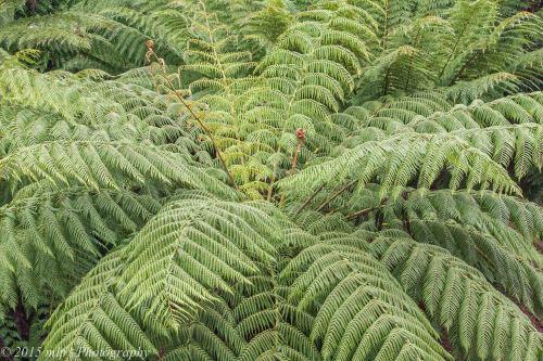 Tree Fern,