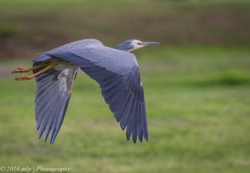 White Faced Heron, Elster Creek, Victoria