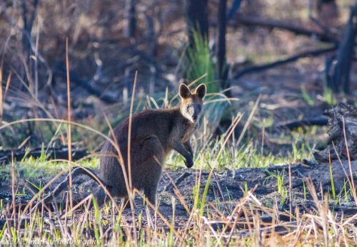 Black Wallaby, Ocean Grove Nature Reserve, Victoria 4 April 2015