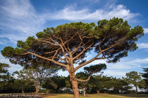 Conifer, Queenscliff,  Victoria 4 April 2015