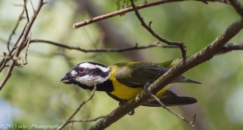 Crested Shrike Tit, Greens Bush, Victoria