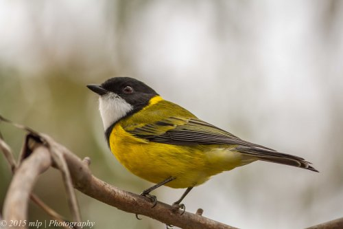 Golden Whistler, Peninsula Gardens, Rosebud South, Victoria 12 April, 2015