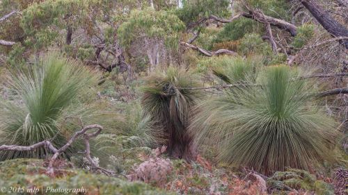 Grass Trees,  Peninsula Gardens, Rosebud South, Victoria 12 April, 2015