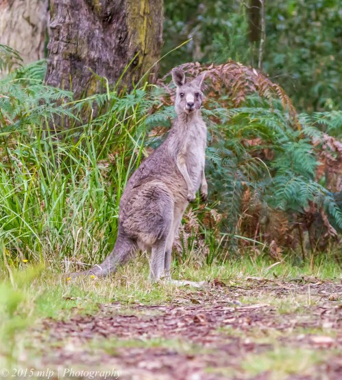 Grey Kangaroo, Greens Bush, Victoria 11 April 2015