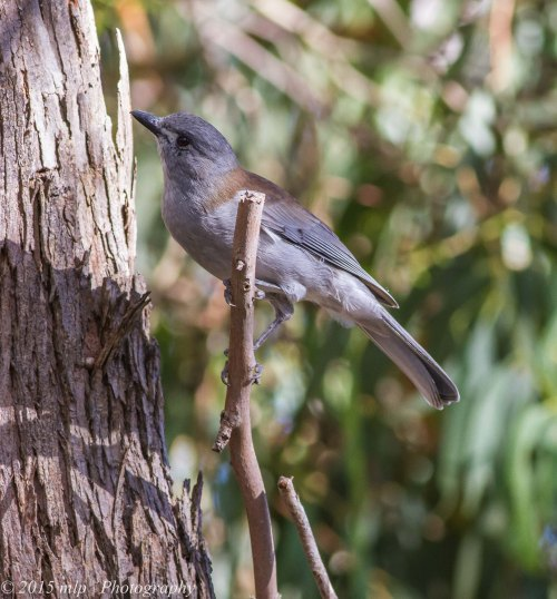 Grey Shrike Thrush,  Peninsula Gardens, Rosebud South, Victoria 12 April, 2015