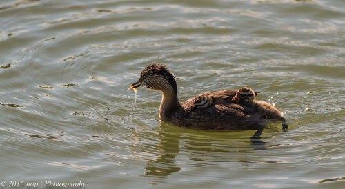Hoary Headed Grebe and chicks