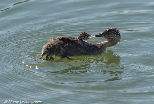 Hoary Headed Grebe and chicks