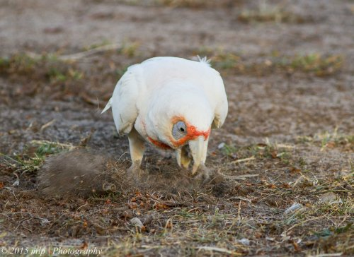 Long Billed Corella