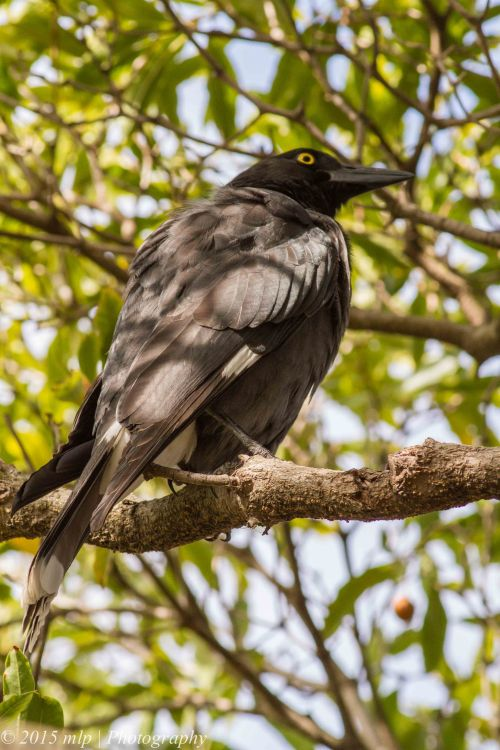 Pied Currawong, Elster Creek, Elwood, Victoria 6 April 2015