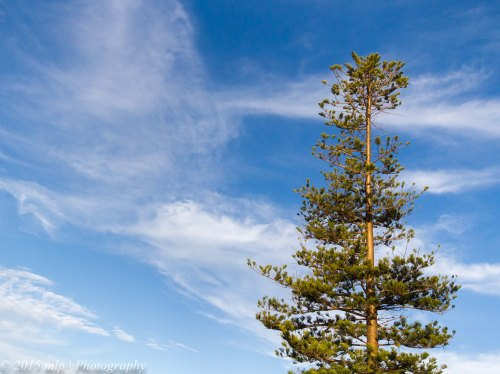 Pine, Queenscliff,  Victoria 4 April 2015