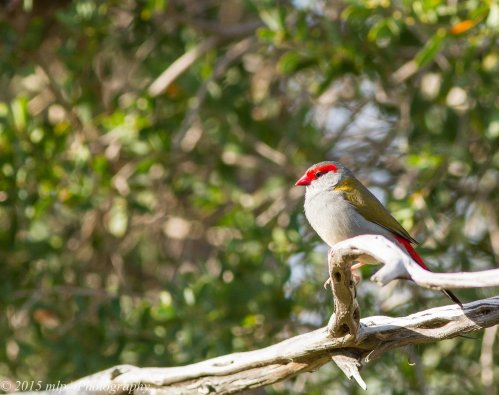 Red Browed Finch, Edwards Point Wildlife Reserve, St Leonards Victoria 4 April 2015