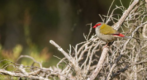 Red Browed Finch, Ocean Grove Nature Reserve, Victoria 4 April 2015