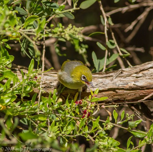 Silvereye, Lake Connewarre, Victoria 4 April 2015
