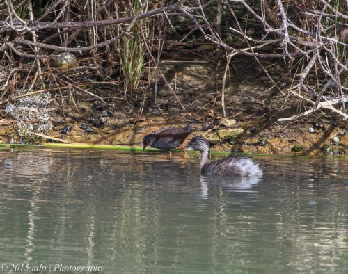 Spotless Crake and Grebe