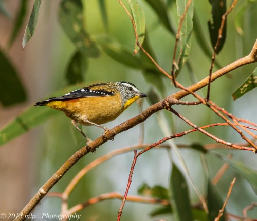 Spotted Pardalote, Peninsula Gardens, Rosebud South, Victoria 12 April, 2015