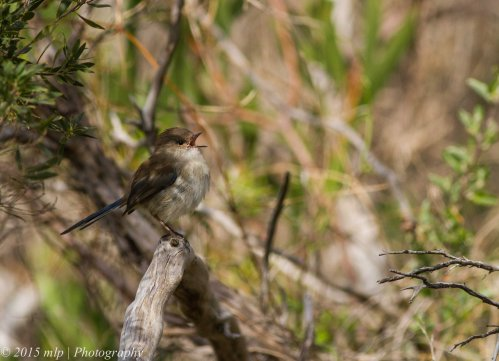 Superb Fairy Wren, Lake Connewarre, Victoria 4 April 2015