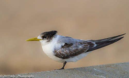 Tagged Crested Tern,