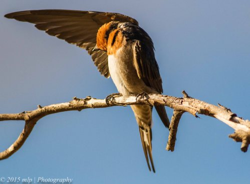 Welcome Swallow, Elsternwick Park Lake, Victoria, 6 April 2015