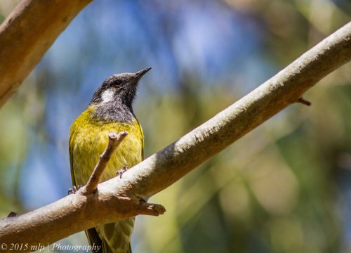 White Eared Honeyeater