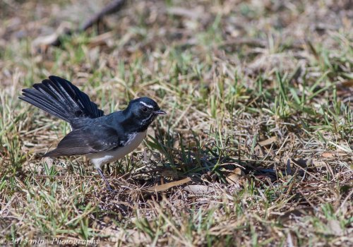 Willie Wagtail,