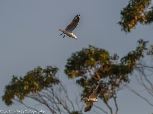 Gull and Black Shouldered Kite, Rosebud Foreshore, Victoria 12 April 2015