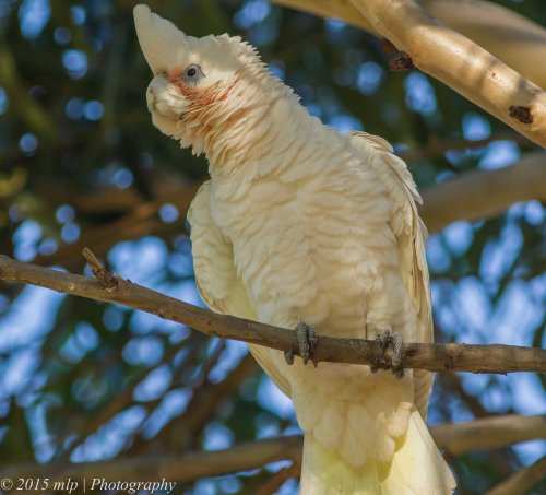 Little Corella, Elster Creek, Victoria 3 May 2015