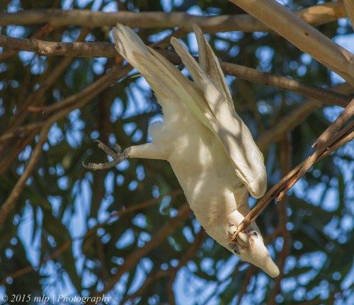Little Corella, Elster Creek, Victoria 3 May 2015