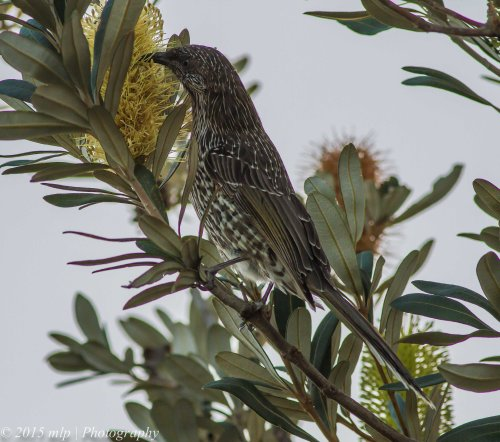 Little Wattlebird, Rosebud Foreshore, Victoria 12 April 2015