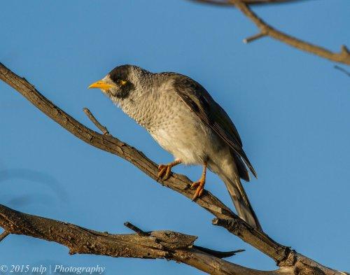 Noisy Miner, Elsternwick Park, Victoria, 3 May 2015