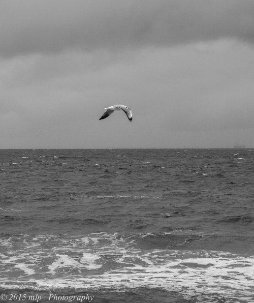 St Kilda beach Silver Gull BW, St Kilda, Victoria 26 April, 2015