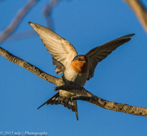Welcome Swallow, Elsternwick Park, Victoria, 3 May 2015
