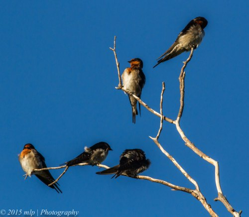 Welcome Swallows, Elsternwick Park, Victoria, 3 May 2015