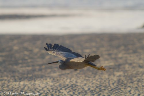 White Faced Heron, Rosebud Foreshore, Victoria 12 April 2015