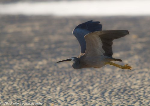 White Faced Heron IV, Rosebud Foreshore, Victoria 12 April 2015