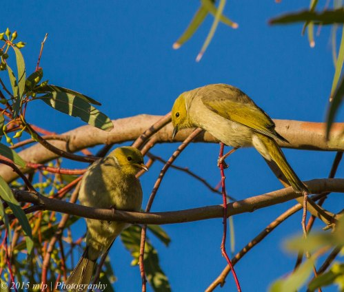 White Plumed Honeyeaters, Elsternwick Park, Victoria, 3 May 2015