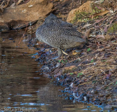 Freckled Duck
