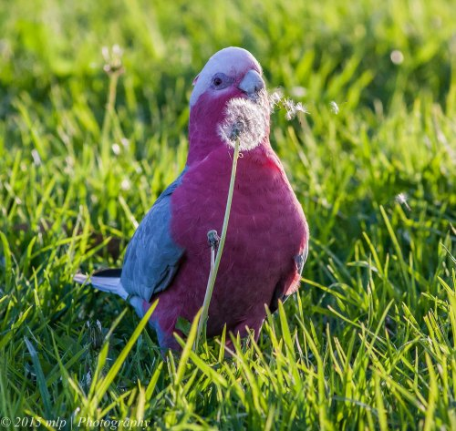 Galah, Elster Creek