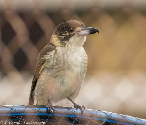 Juvenile Grey Butcherbird