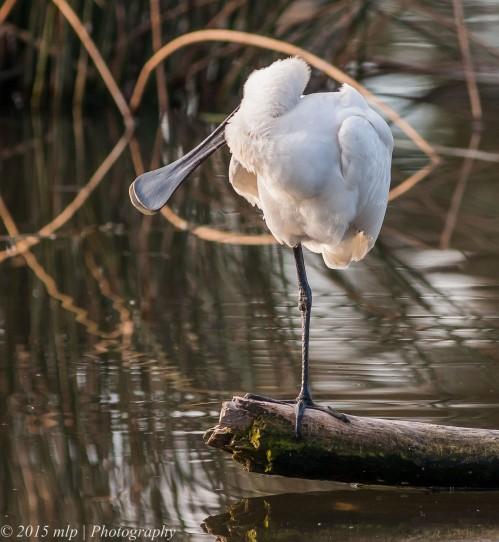Royal Spoonbill, Elster Creek