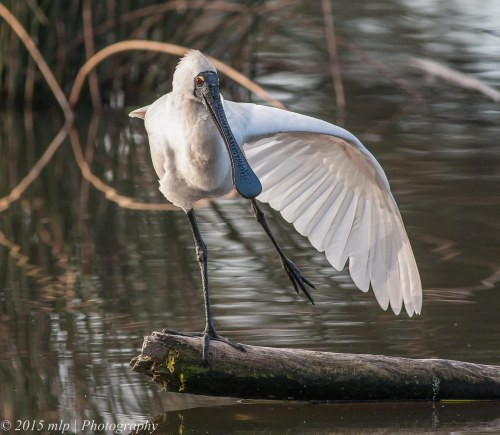Royal Spoonbill, Elster Creek